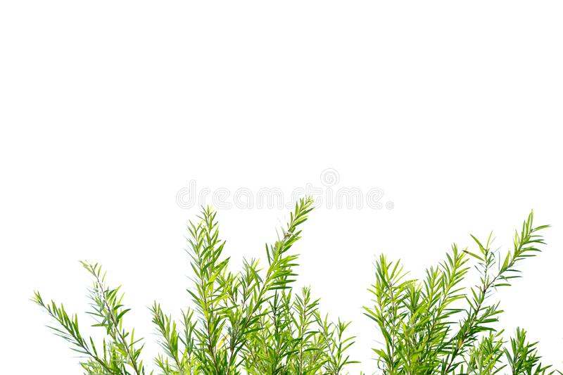 Tropical tree leaves with branches on white isolated background for green foliage backdrop. Tropical tree leaves branches sunlight white isolated background stock image