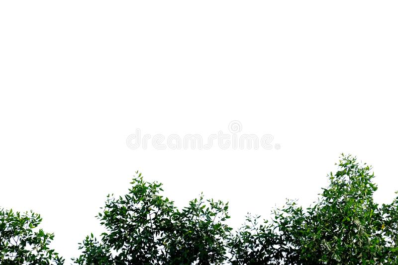 Tropical tree leaves with branches on white isolated background for green foliage backdrop. Agriculture, border, beautiful, bright, fresh, botany, botanical stock image