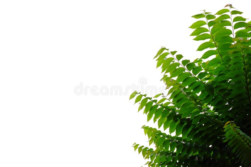 Tropical tree leaves with branches on white isolated background for green foliage backdrop. Bush, rainforest, jungle, plant, plantation, stem, top, view, leaf stock image