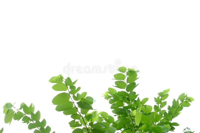 Tropical tree leaves with branches on white isolated background for green foliage backdrop. Leaf, rainforest, jungle, bush, bunch, twig, nature, copy, space royalty free stock images