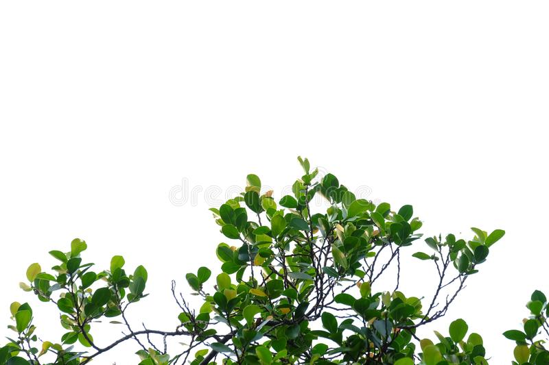Tropical tree leaves with branches on white isolated background for green foliage backdrop. Leaf, rainforest, jungle, bush, bunch, twig, nature, copy, space royalty free stock photo