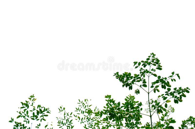 Tropical tree leaves with branches on white isolated background for green foliage backdrop. Tropical tree leaves branches white isolated background green foliage stock photo