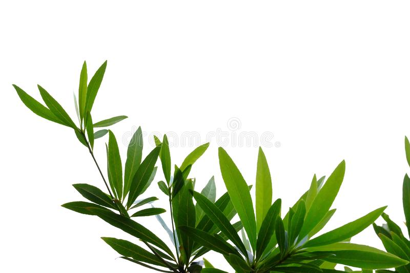 Tropical tree leaves with branches on white isolated background for green foliage backdrop royalty free stock images