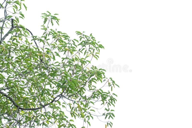 Tropical tree leaves with branches on white isolated background for green foliage backdrop. Tropical tree leaves branches white isolated background green foliage royalty free stock photo