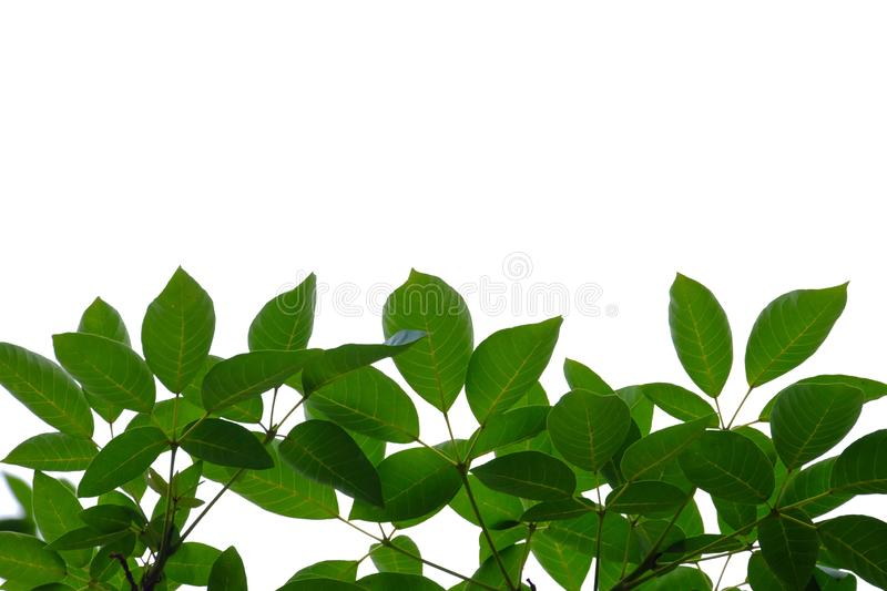 Tropical tree leaves with branches on white isolated background for green foliage backdrop stock photos