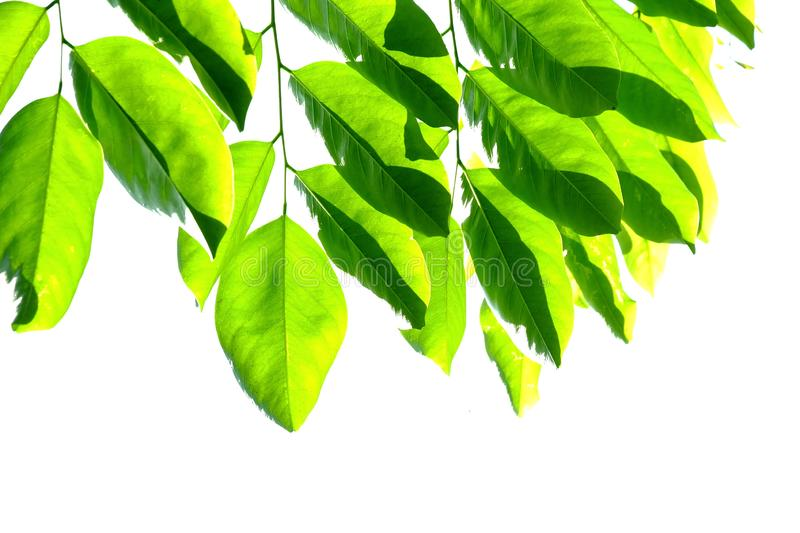 Tropical tree leaves with branches on white isolated background for green foliage backdrop. Tropical tree leaves branches white isolated background green foliage stock image