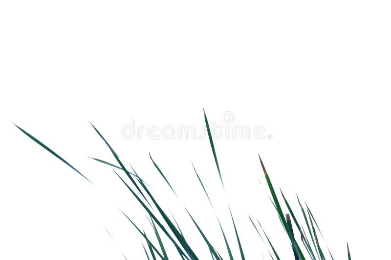Wild grass leaves on white isolated background for green foliage backdrop stock images