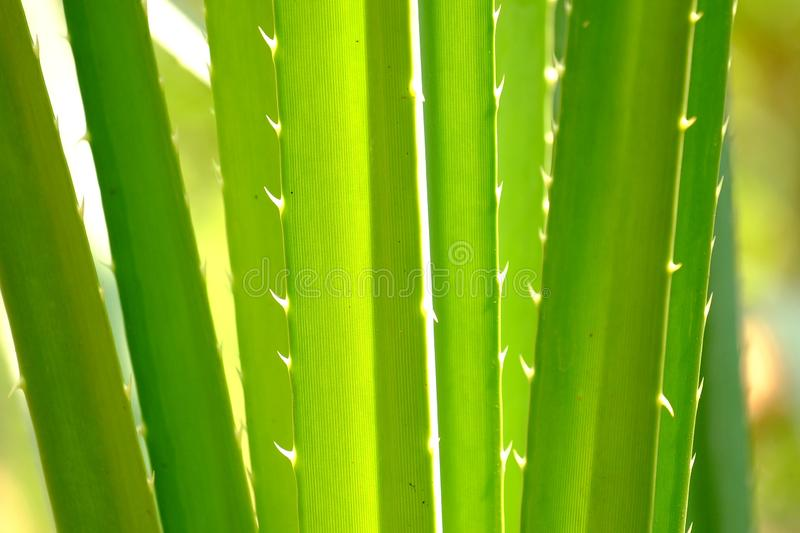 Tropical palm leaves with thorns and sun light for green foliage backdrop stock photography