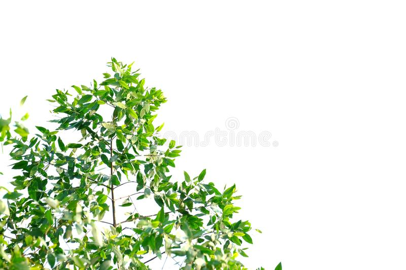 Tropical tree leaves with leaves branches on white isolated background for green foliage backdrop stock photography