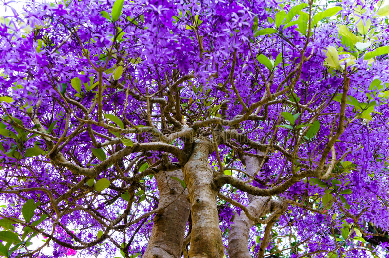 Tropical tree with purple flowers stock photo image of pink bloom download tropical tree with purple flowers stock photo image of pink bloom 72120830 mightylinksfo