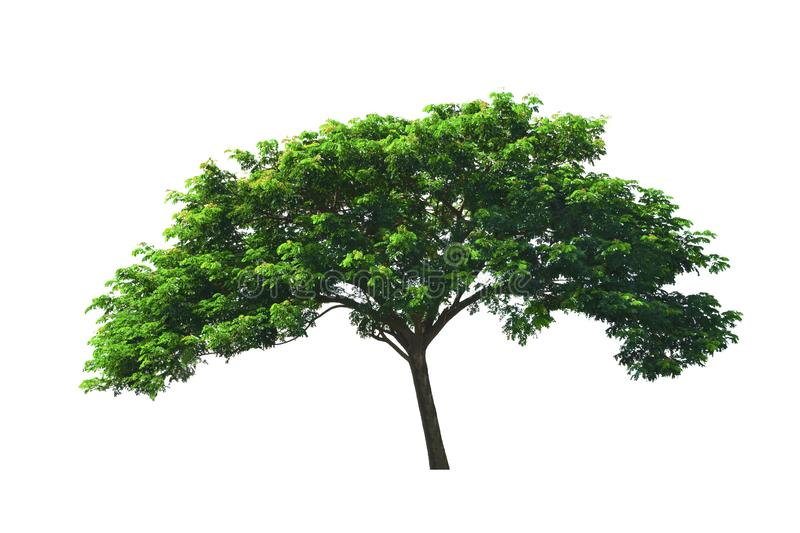 Tropical tree ,Rain Tree or East Indian walnut tree or silk tree growing up in middle rice field isolated on white background. Close up tropical tree, Rain tree stock photography