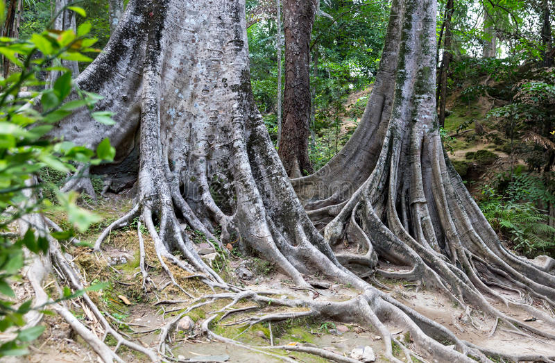 Download Tropical tree roots. stock photo. Image of pattern, leaf - 38870340