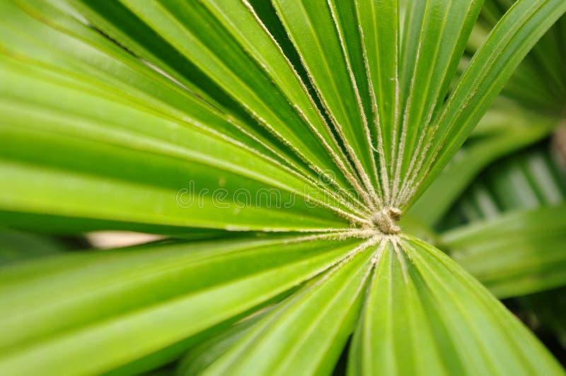 Tropical tree's fan-shaped leaf stock photos
