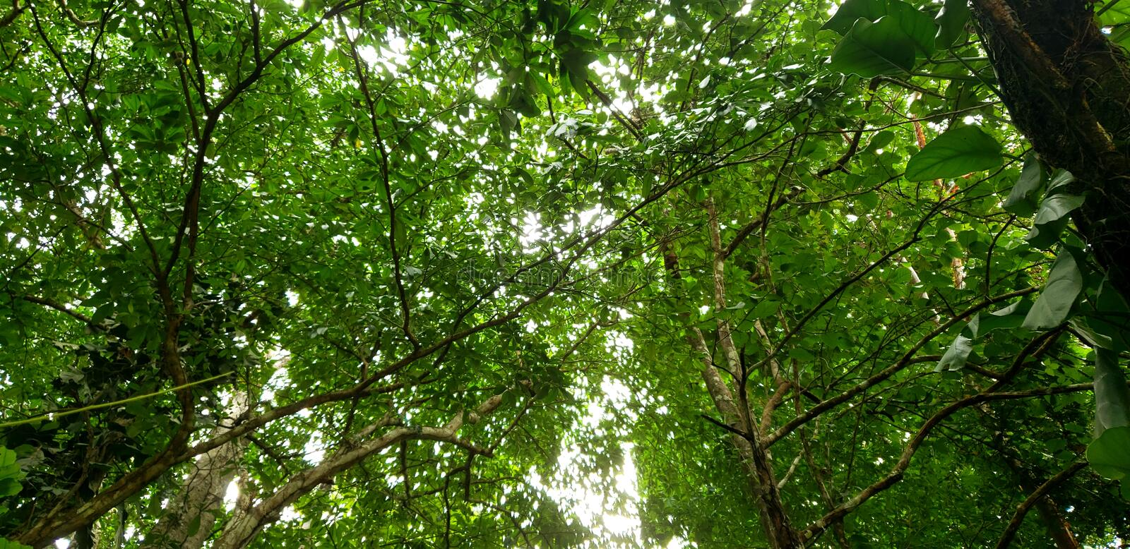 Tropical Tree Tops. Small leaf trees royalty free stock photo
