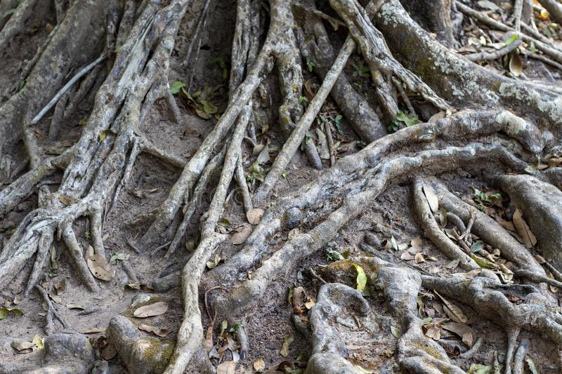 Tropical tree trunk with aerial roots. Tree texture photo. Natural wooden ornament. Messy wooden roots closeup. stock photo