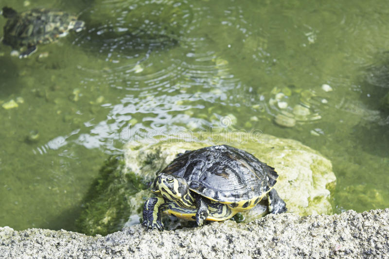 Tropical Turtle. River pond, animals and nature royalty free stock photo