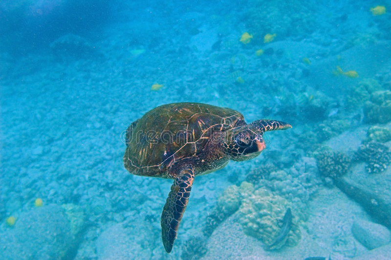 Tropical underwater scene - sea turtle royalty free stock photography