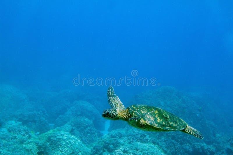Tropical underwater scene - sea turtle. Tropical Underwater scene, Grean Sea Turtle, Hawaii royalty free stock photo