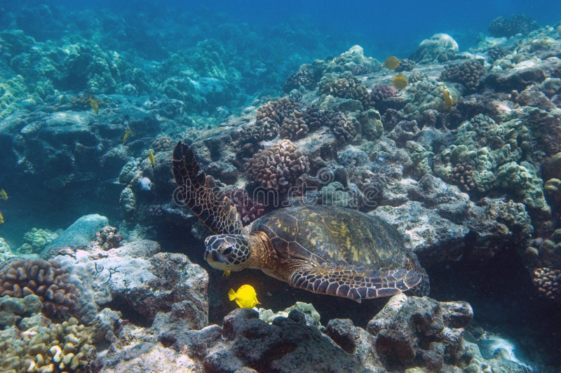 Tropical underwater scene - sea turtle. Tropical Underwater scene, Grean Sea Turtle, Hawaii royalty free stock photos