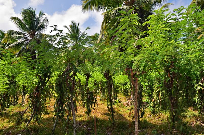 Tropical vanilla plantation. Vanilla plantation on the bright sunny day on Seychelles island, La Digue royalty free stock photos