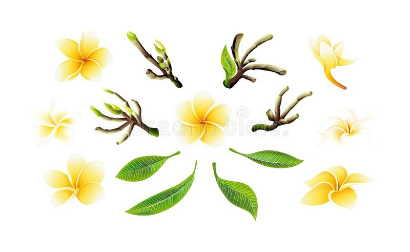 Tropical vector yellow plumeria flowers, branches and leaves set for cards vector illustration