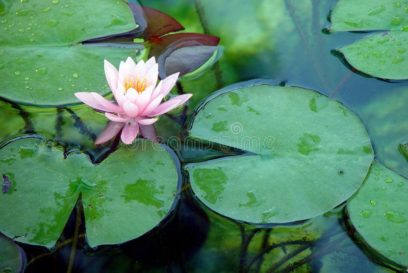 Tropical water lily royalty free stock photography