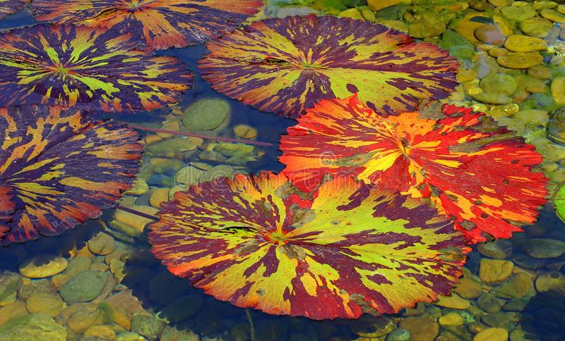 Tropical water lily pads. Colorful tropical water lily pads floating in a garden pond stock images