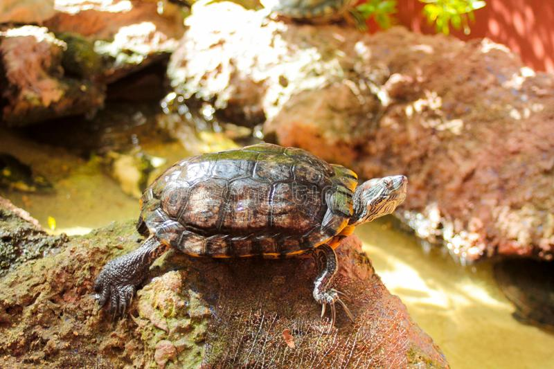 Tropical water turtle on a rock near a pond. Tropical water turtle resting on a rock near a pond royalty free stock image