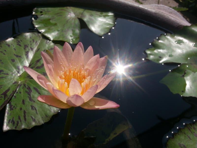 Tropical waterlily photo libre de droits
