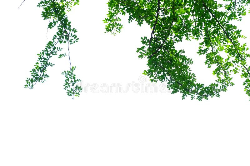 Tropical wood apple tree leaves with branches on white isolated background for green foliage backdrop stock photos