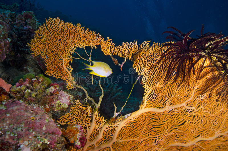 Tropical Yellow Fish Swimming Through A Sea Fan Hole Stock Images