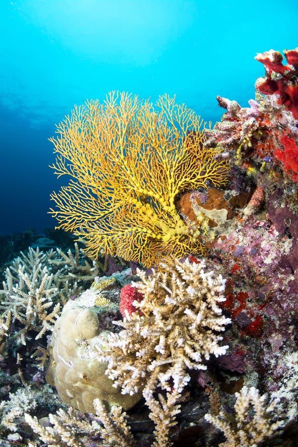 Tropical yellow sea fan stock photography