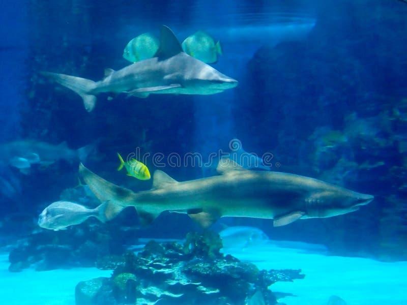 Sharks. Bluecolor, wildanimal, bluewater, tropicarium stock image