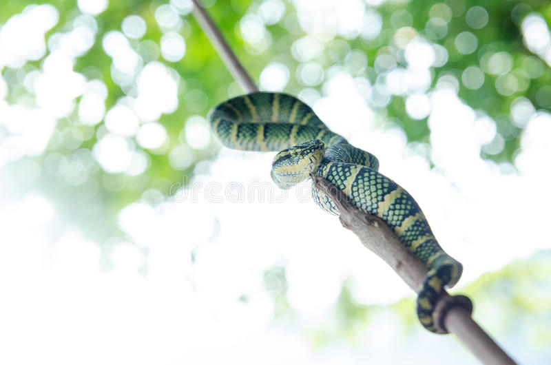 Tropidolaemus wagleri毒蛇绿色黄色镶边了亚洲人 免版税库存照片