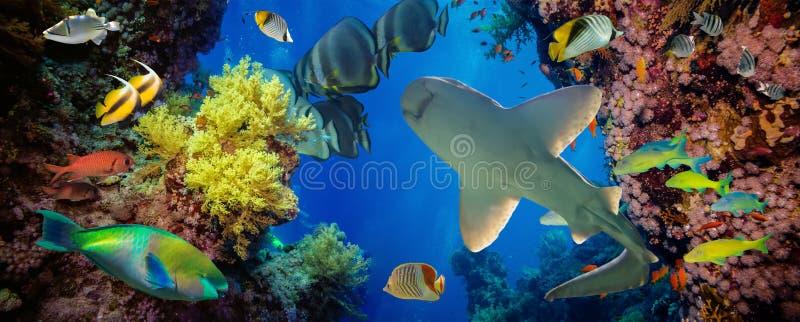 Tropikalna Anthias ryba z sieć ogienia koralami i rekin zdjęcie royalty free