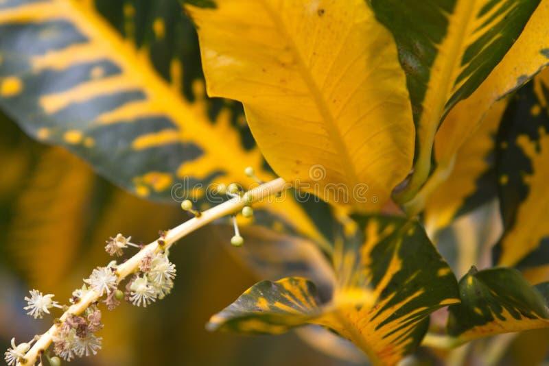 TROPIKALNA CROTON roślina, ZAMYKA UP zdjęcia stock