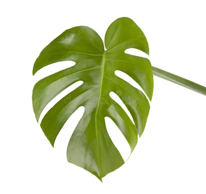 Tropikalna dżungla Monstera opuszcza odosobnionego, Szwajcarskiego sera rośliny, odizolowywającej na białym tle zdjęcia royalty free