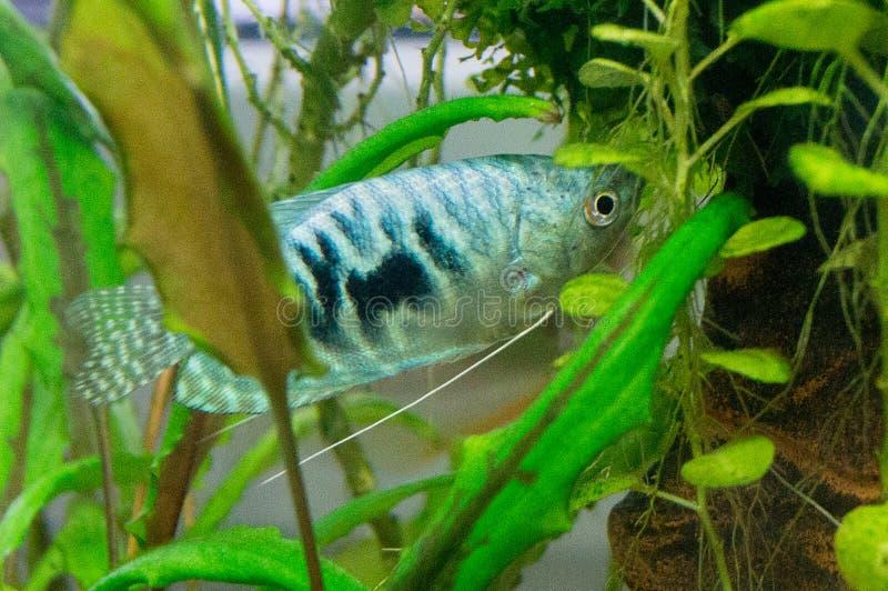 Tropikalna gourami ryba fotografia royalty free