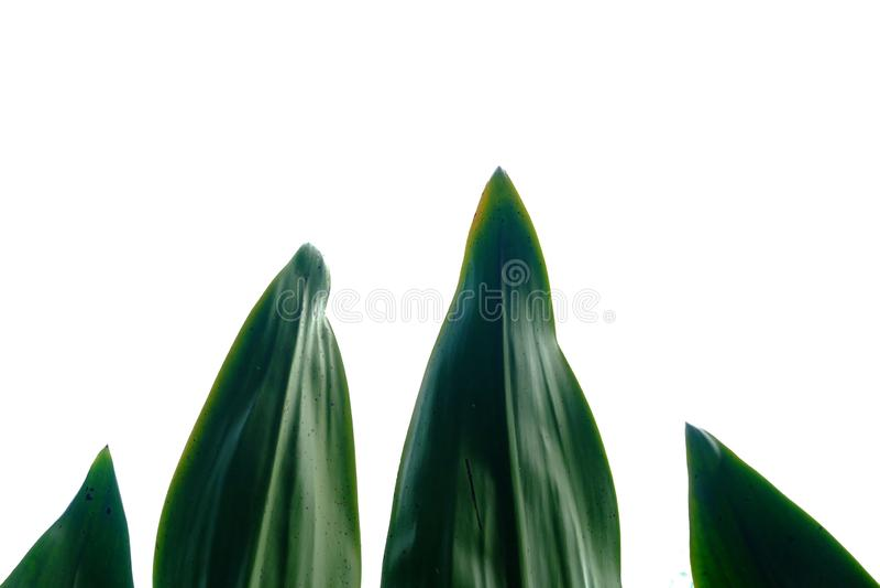 Tropikalna konopiana roślina opuszcza na białym odosobnionym tle dla zielonego ulistnienia tła zdjęcie royalty free