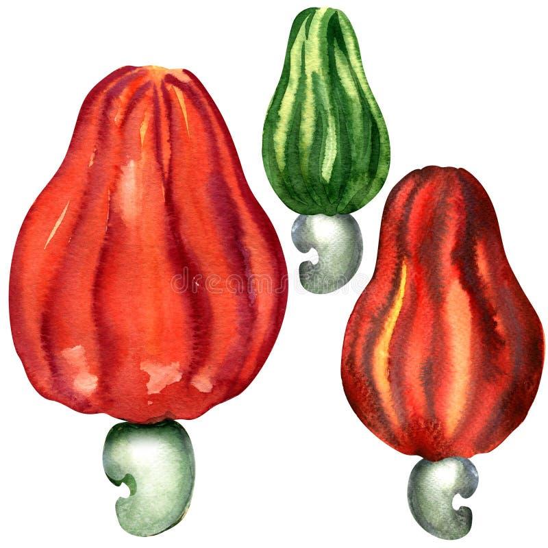 Tropikalna nerkodrzew owoc odizolowywająca, akwarela ilustracji