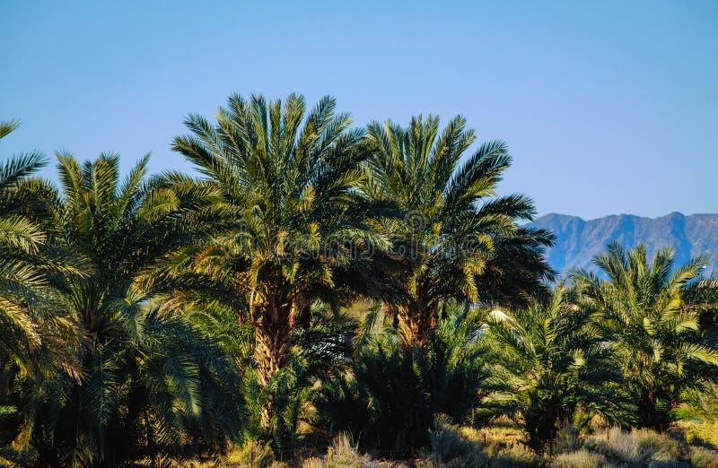 Tropikalna palma opuszcza w zielonych liściach tropikalna lasowa roślina dla natury obrazy stock