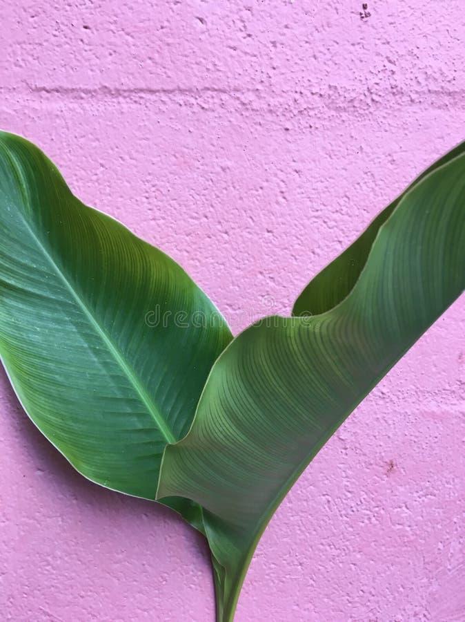 Tropikalna palma Przeciw menchii ścianie obraz stock