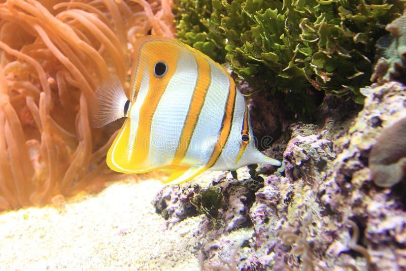 Tropikalna ryba fotografia royalty free