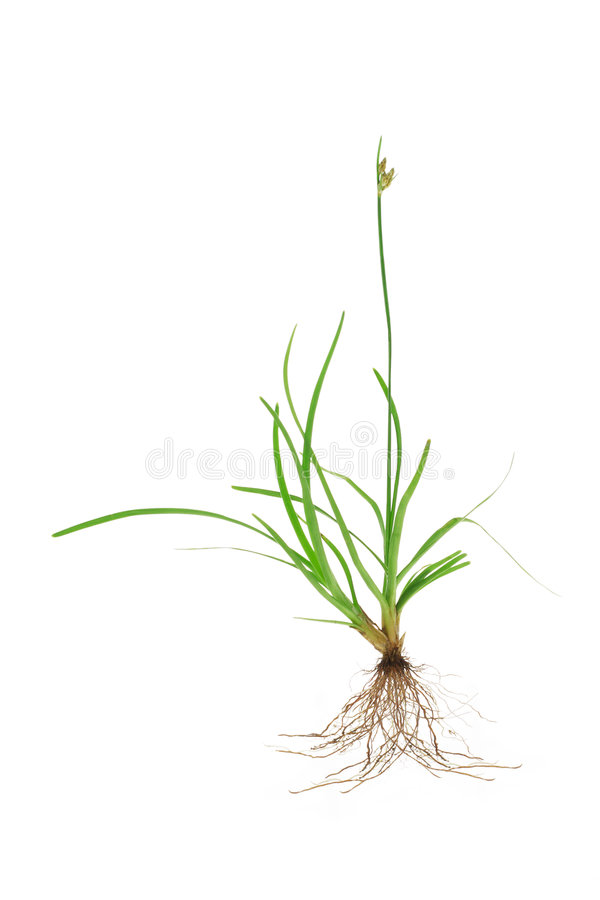 tropikalna trawy zieleń zdjęcie royalty free