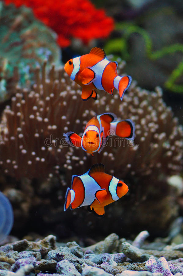 Tropikalne Denne błazen ryba fotografia royalty free