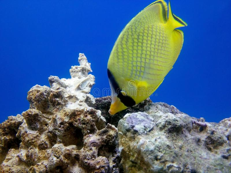 tropikalne ryby żółty zdjęcie royalty free