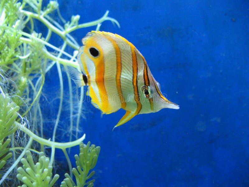 Download Tropikalne ryby zdjęcie stock. Obraz złożonej z akwaria - 143502