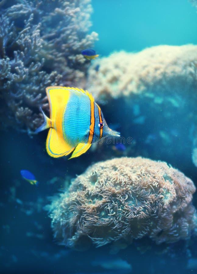 tropikalne ryby gili Indonesia wyspy lombok meno blisko dennego żółwia underwater światu obrazy royalty free