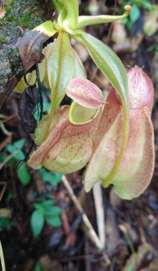 Tropikalnego miotacza rośliny w sri lance zdjęcie royalty free