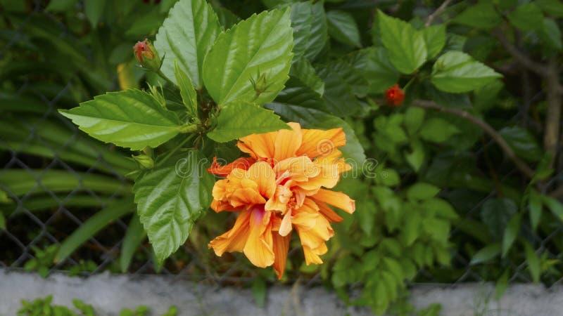 Tropikalnej poślubnik kopii pomarańczowy kwiat obraz royalty free